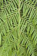 tree fern cibotium cumingii - stock photo