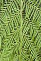 Stock Photo of tree fern cibotium cumingii