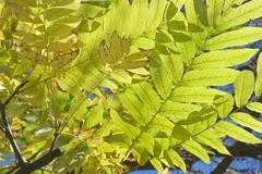 Stock Photo of back lit yellow leaves