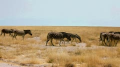 Zebras - stock footage