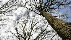 Looking up into some bare branch oak trees, includes camera move. Stock Footage