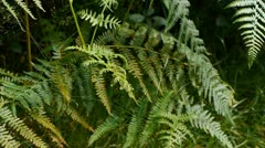 Stock Video Footage of Fern (Pteridophyta).