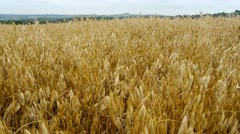 Field of ripe oats. English landscape. Camera move. Stock Footage