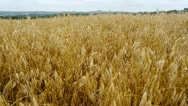 Stock Video Footage of Field of ripe oats. English landscape. Camera move.