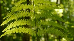 Back lit fern frond with a blurred background. Moving in the wind. - stock footage