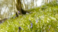 Some bluebell flowers in a wood in England. Stock Footage
