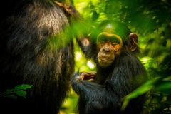 Baby Chimp in Uganda Forest Stock Photos