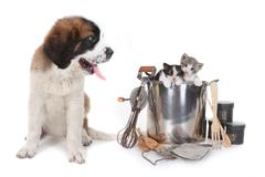 Saint bernard watching kittens Stock Photos