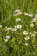oxeye daisy flowers in grass - stock photo