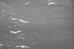 sea gall flock - stock photo