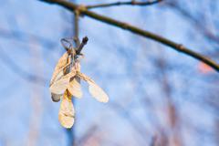 Ash seeds on tree in autumn Stock Photos