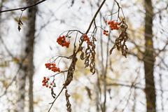 dry ash berry - stock photo