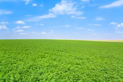 Green lucerne field blue sky Stock Photos
