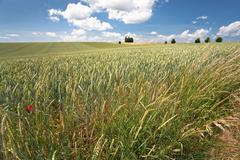 Wheat field under blue sky Stock Photos