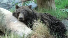 Grizzly Bear in Woods Stock Footage