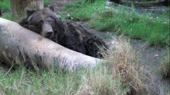 Grizzly Bear On Log Stock Footage