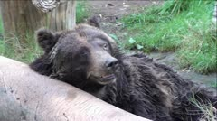 Grizzly Bear Acting Lonely and Distressed Stock Footage