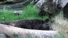 Grizzly Bear Laying Behind Log Tossing head Around Stock Footage
