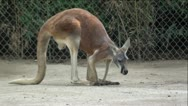 Kangaroo Hops, Digs In Dirt and Lays Down Stock Footage