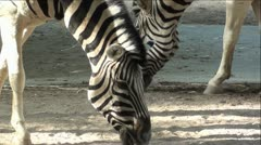 Zebra's Eating Extreme Up-Close Stock Footage