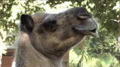Camel -  Extreme Up-Close Stock Footage