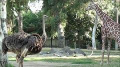 Ostrich and Big Beautiful Giraffe Stock Footage