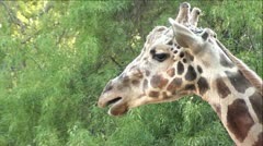 Profile of a Giraffe Chewing Cud Stock Footage