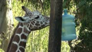 Giraffe Playing with Water Bottle Hanging inTree Stock Footage