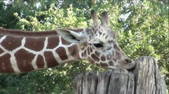 Giraffe Extreme Up-Close Eating Out of Tree Stump Stock Footage