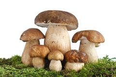 Boletus edulis mushrooms Stock Photos