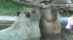Pair of Capybara's in Pond Stock Footage