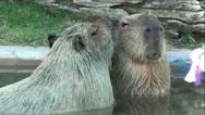 Stock Video Footage of Pair of Capybara's in Pond