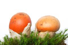amanita caesarea mushrooms with moss - stock photo