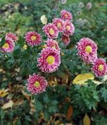 Aster (aster novi-belgii) Stock Photos
