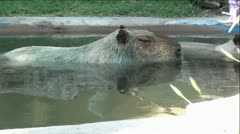 Capybara in Water with Giant Sloth Anteater Walking By Stock Footage