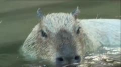 Capybara's Swimming In Pond Stock Footage