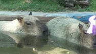 Stock Video Footage of Capybara's in Water
