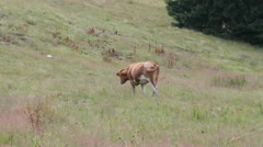 Beautiful young brown Bull Stock Footage