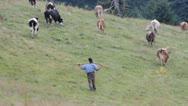 Cowherd with troop Stock Footage