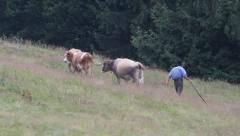 Cowboy with cow herd Stock Footage