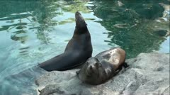 Seals On Rocks in Green Water Stock Footage