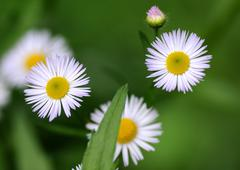 Conyza Canadensis (formerly Erigeron Canadensis L.) - stock photo