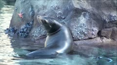 Beautiful Seal (Sea Lion) Swims Away Stock Footage