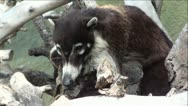 White-Nosed Coati Sitting in Tree Branches Stock Footage