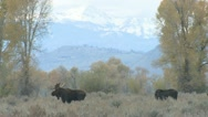 P02046 Moose at Grand Teton National Park Stock Footage