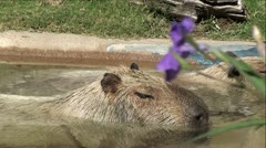Capybara in Water with Purple Flowers Stock Footage