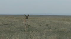 P02033 Buck Pronghorn Antelope at Pawnee National Grasslands Stock Footage