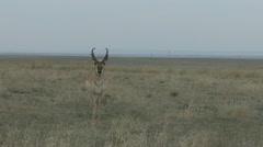 P02033 Buck Pronghorn Antelope at Pawnee National Grasslands - stock footage