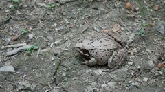 Agile Frog on ground in forest, Rana dalmatina - stock footage