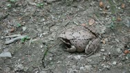 Agile Frog on ground in forest, Rana dalmatina Stock Footage